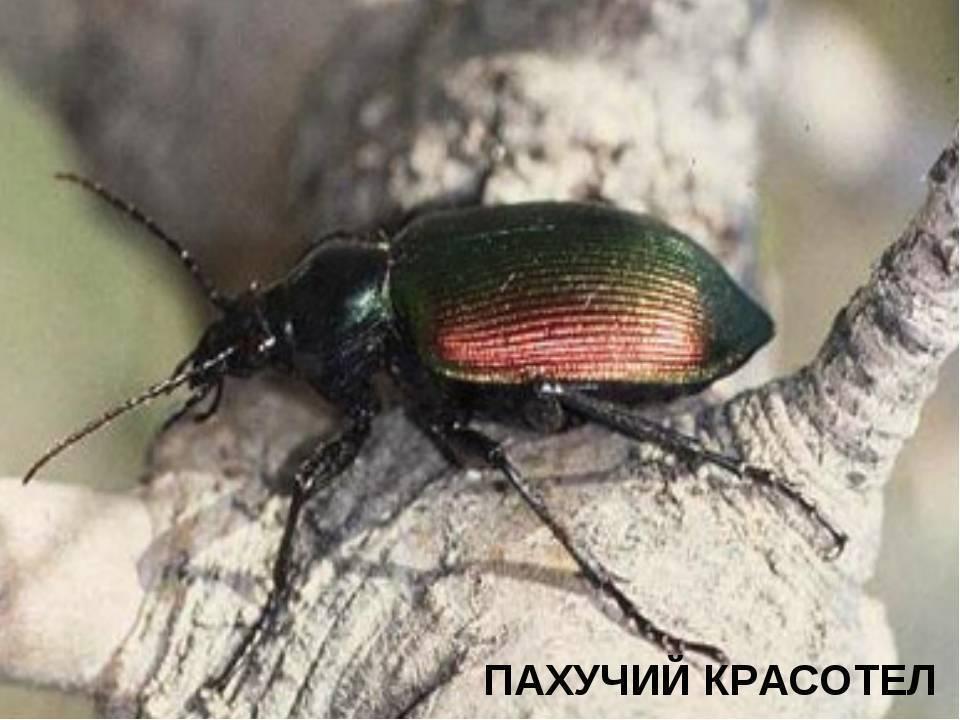 Древоточец пахучий: чем опасна эта большая гусеница