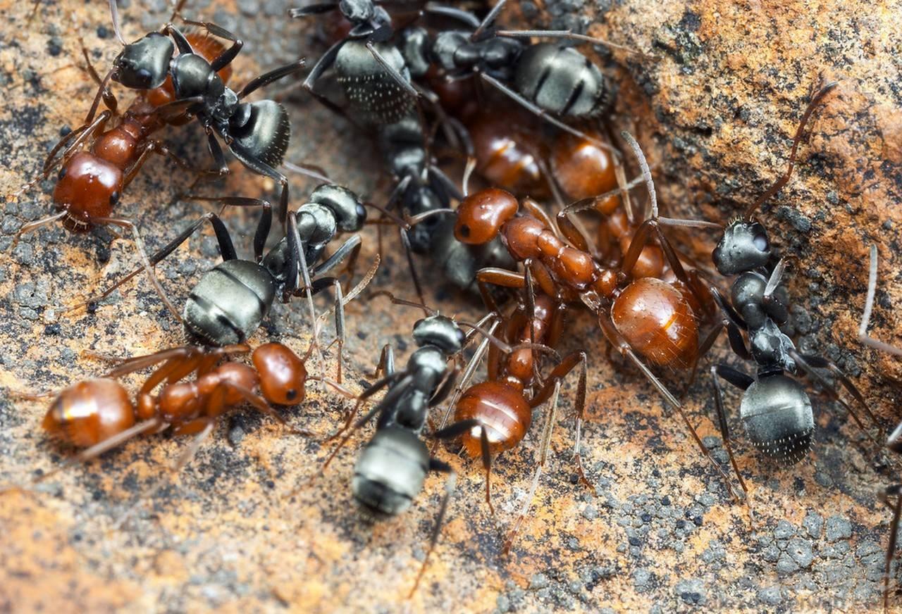 Что такое воинственные муравьи?. все обо всем. том 2