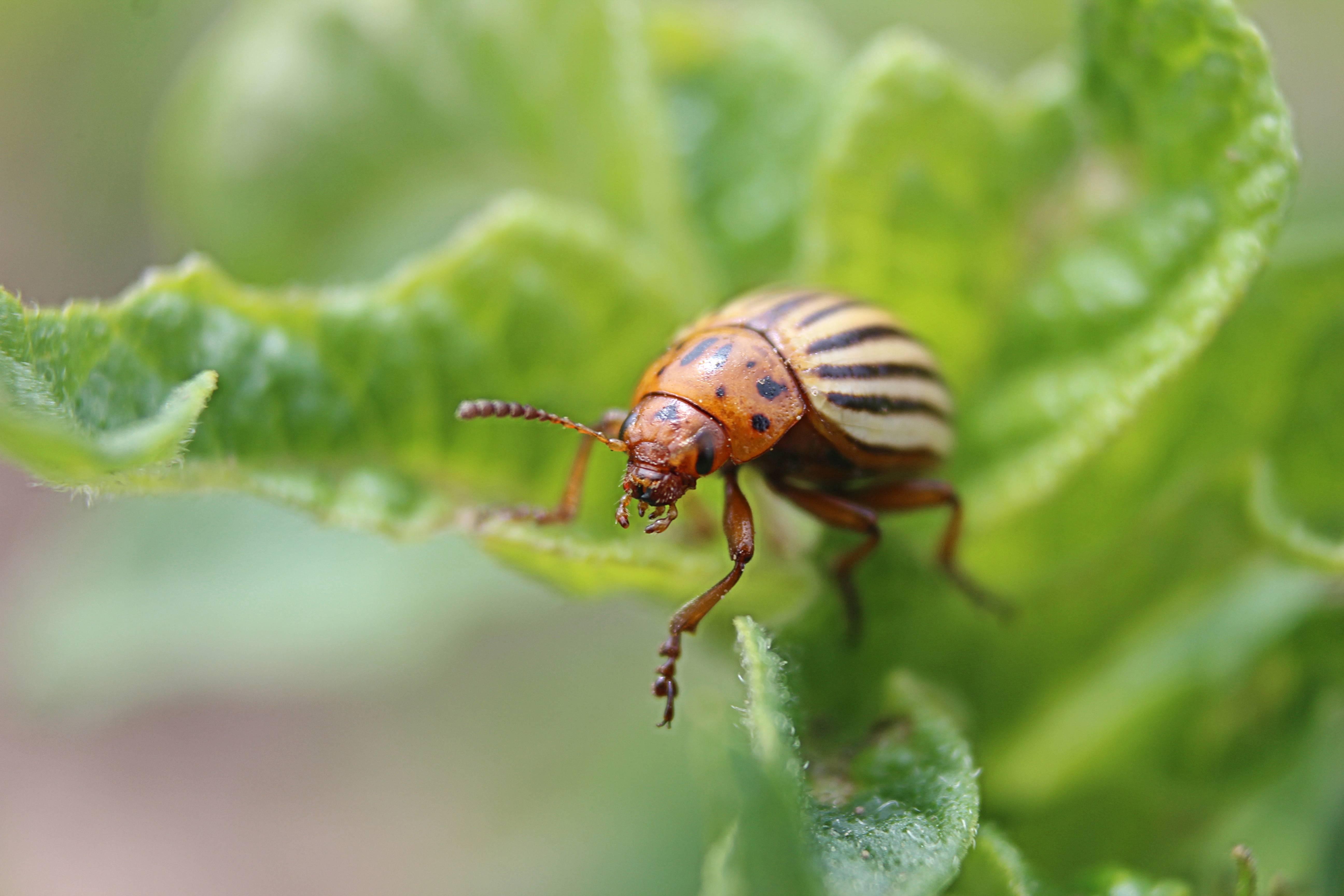 Колорадский жук — откуда взялся в россии?
