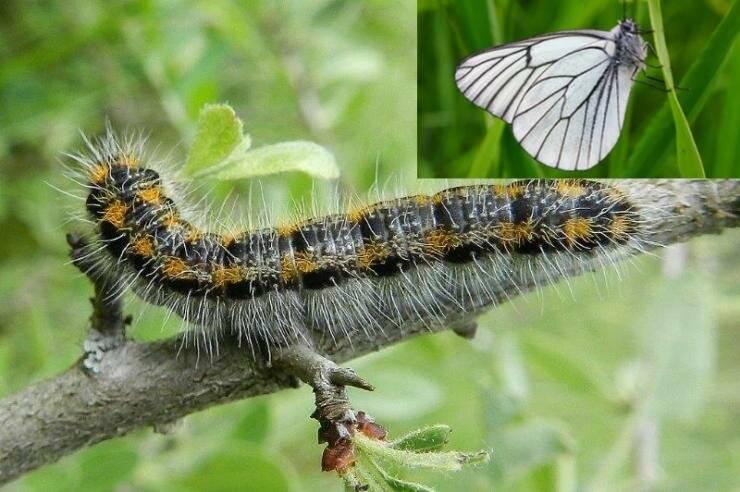 Красивая, но очень опасная бабочка — боярышница