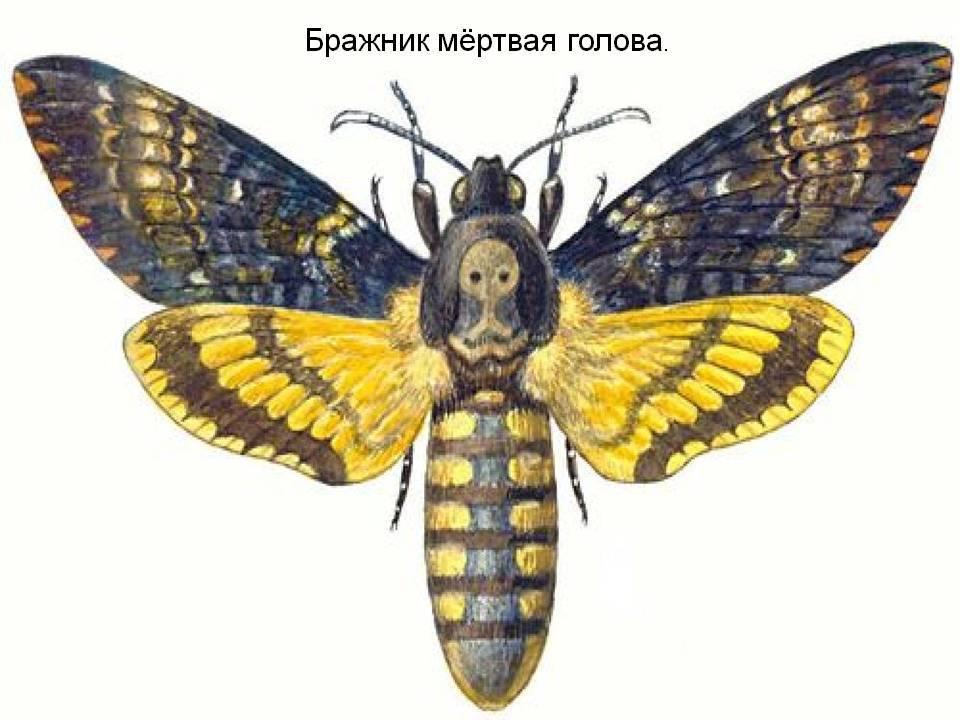 Бабочка мертвая голова: описание