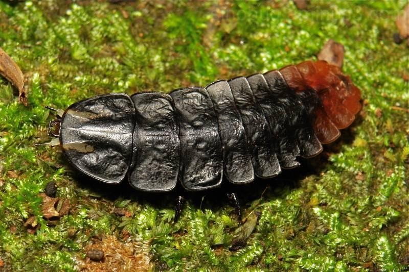 Особенности жуков-трилобитов: размножение и жизненный цикл насекомого