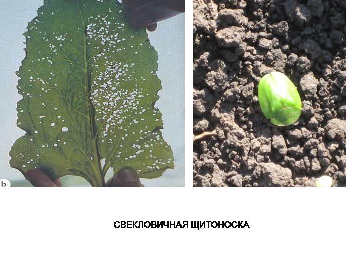 Свекольный клоп: жизненный цикл и ареал обитания насекомого