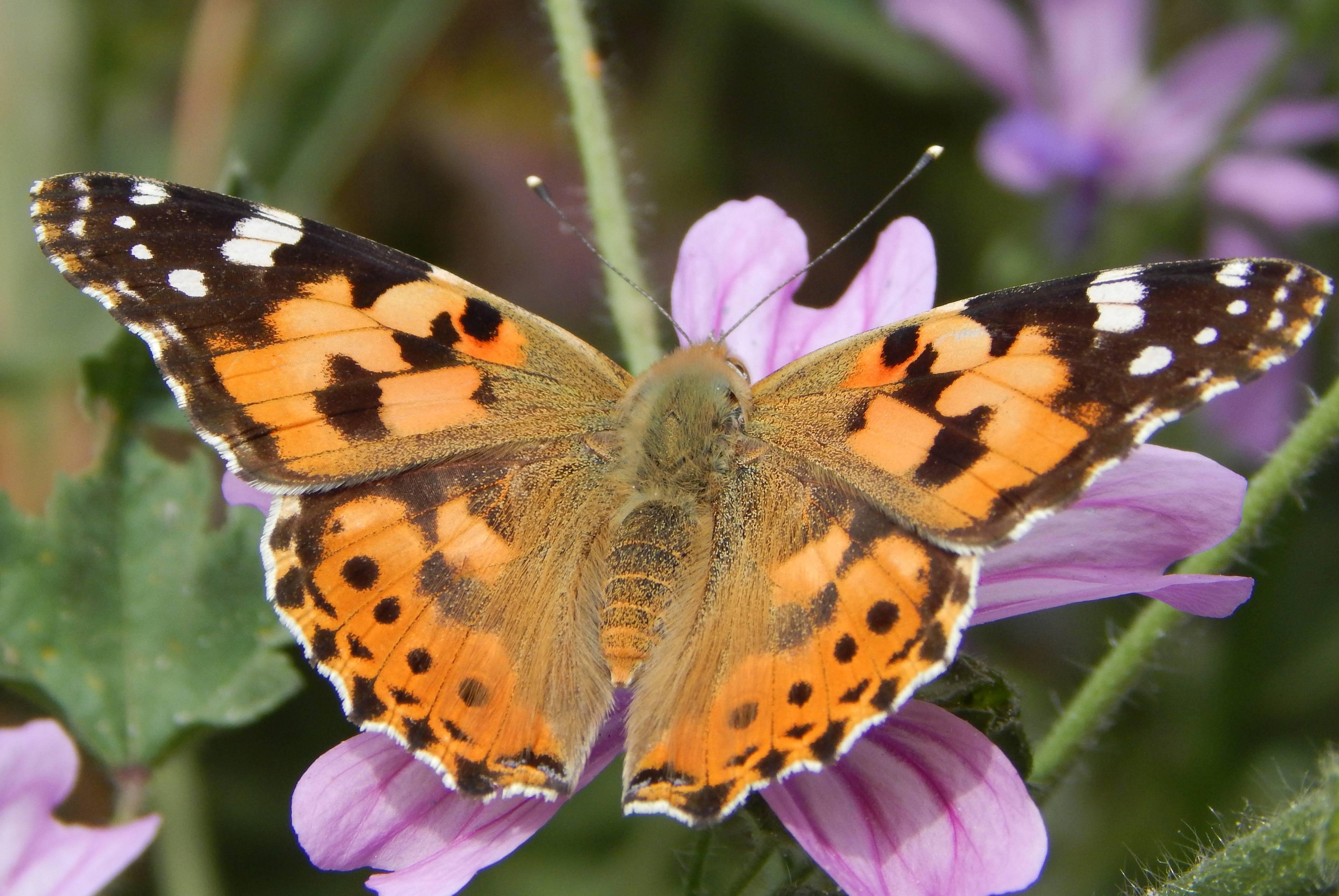 Американская белая бабочка: «белый и пушистый» вредитель