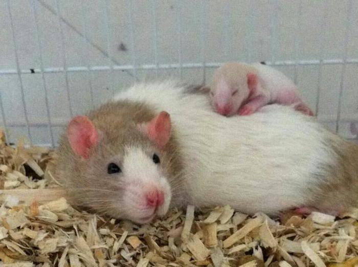 Домашняя крыса: все о декоративных маленьких грызунах