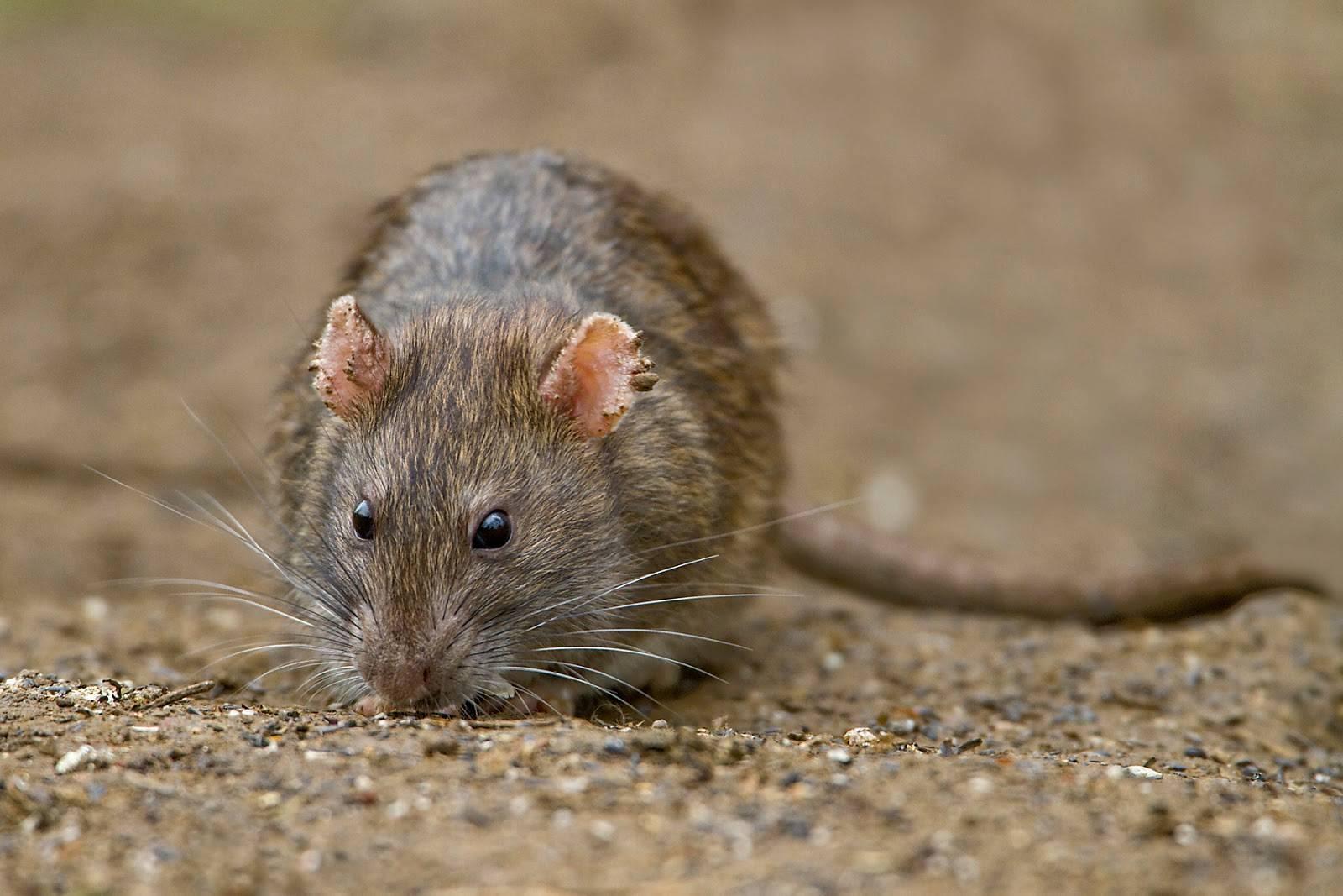 Виды крыс - фото и описание разновидностей