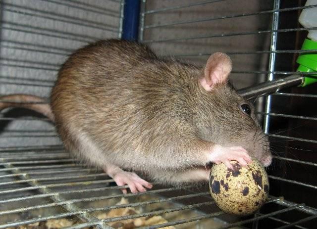 Сколько живут крысы, продолжительность жизни