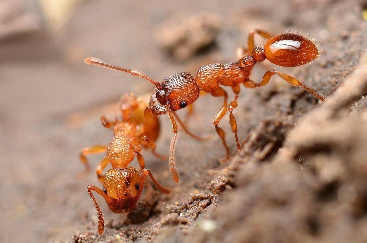 Рыжий лесной муравей