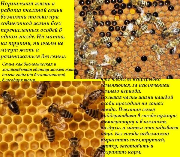 Особенности медоносных пород пчел