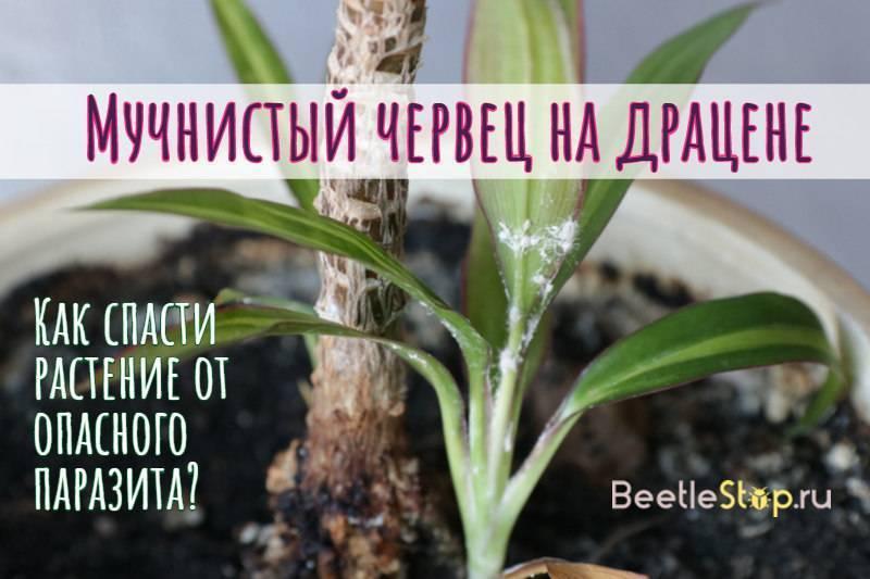 Мучнистый червец – как бороться на комнатных растениях