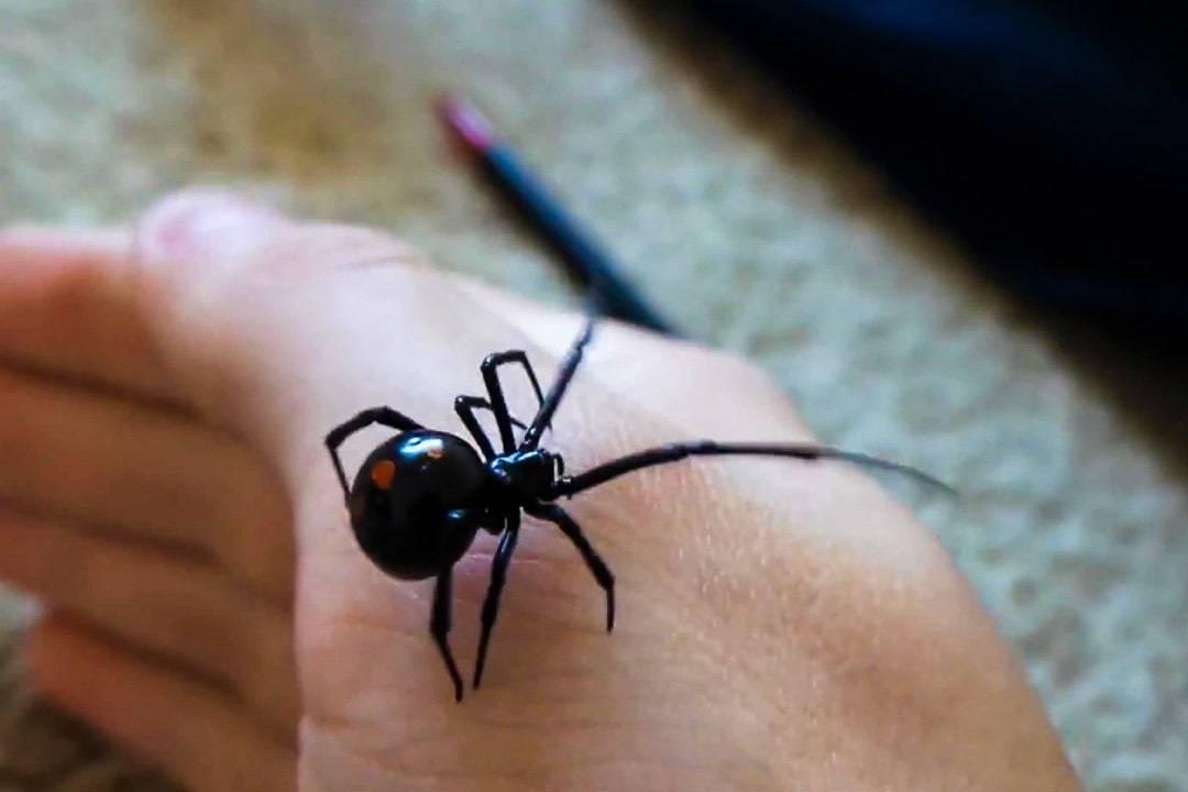 Последствия укуса черной вдовы (каракурта) — что делать? где обитает паук