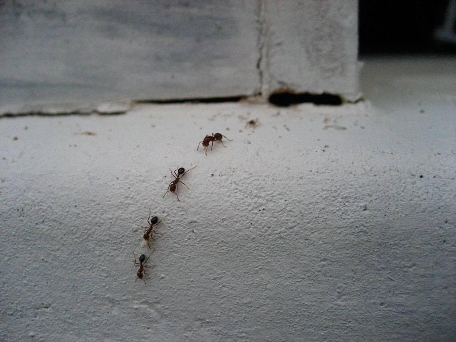 Как избавиться от муравьёв: эффективные способы избавления навсегда | народные знания от кравченко анатолия