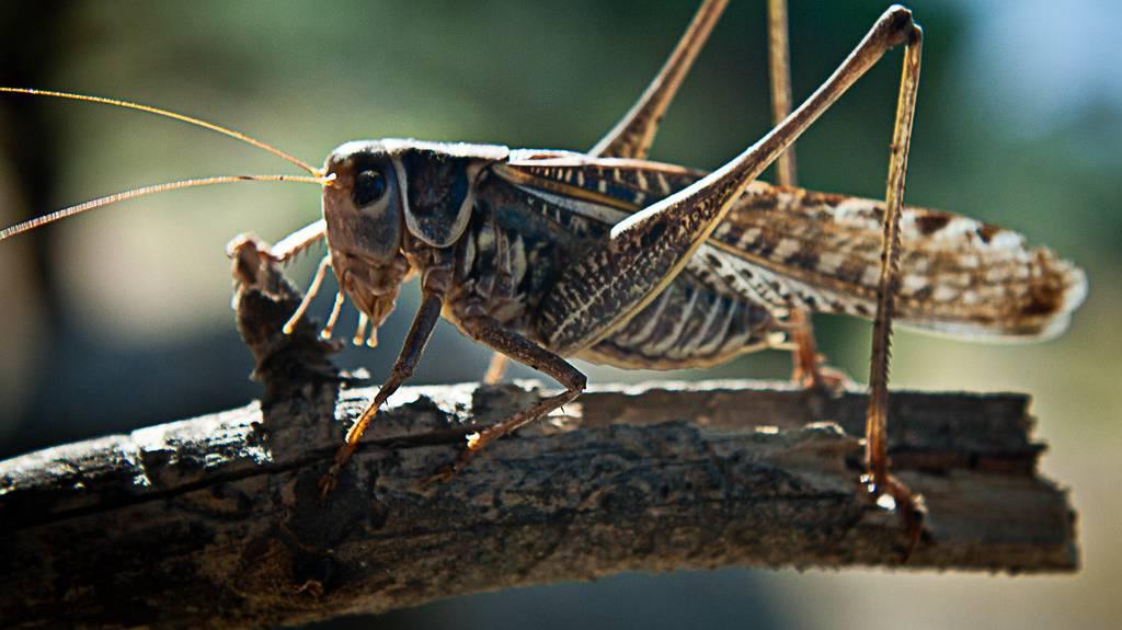 Насекомое саранча – фото и описание