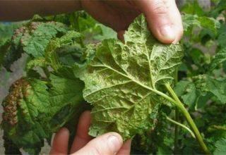 Чем обработать растения от тли во время плодоношения - огород, сад, балкон - медиаплатформа миртесен