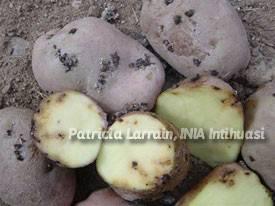Бороться картофельной молью   вырасти сад!