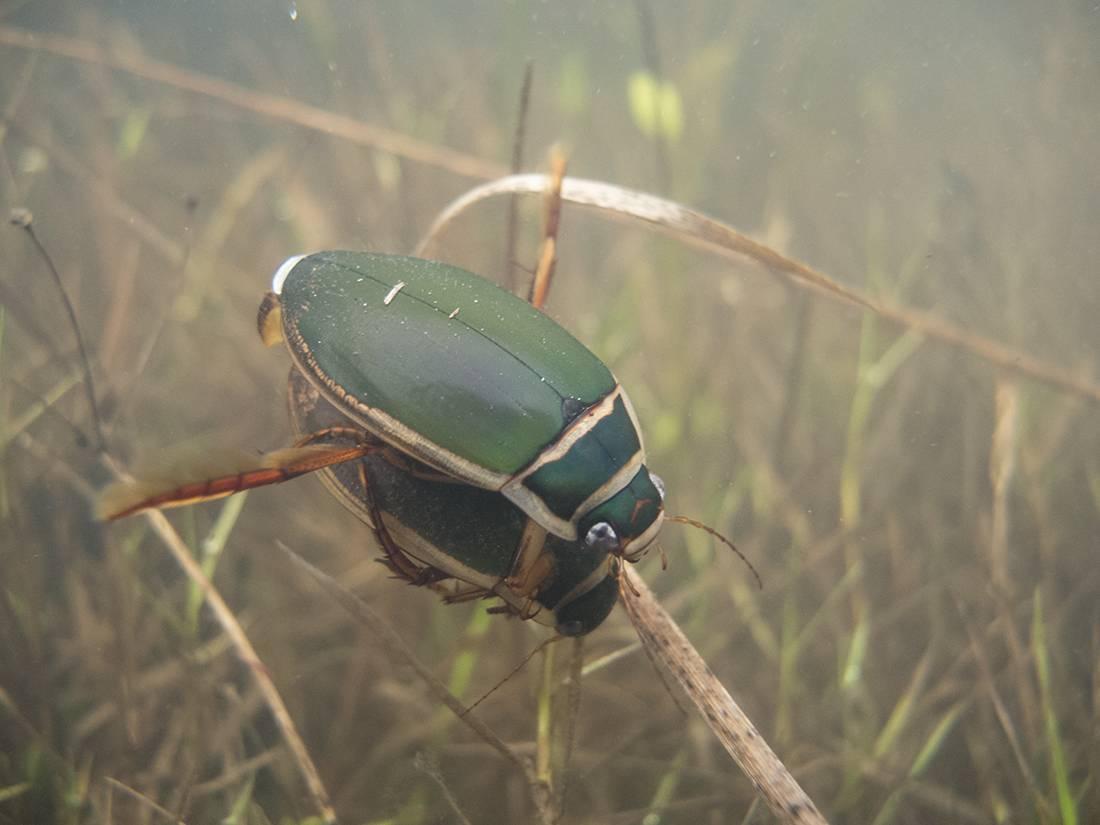 Жук-плавунец: внешний вид и строение, особенности размножения и питания хищных насекомых