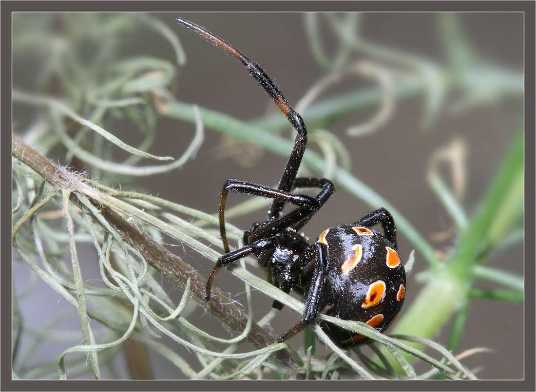 Паук чёрная вдова: фото и описание, укусы чёрной вдовы.