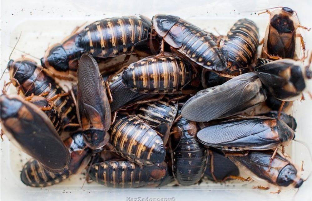 Таракан мертвая голова - содержание, фото блаберус кранифер