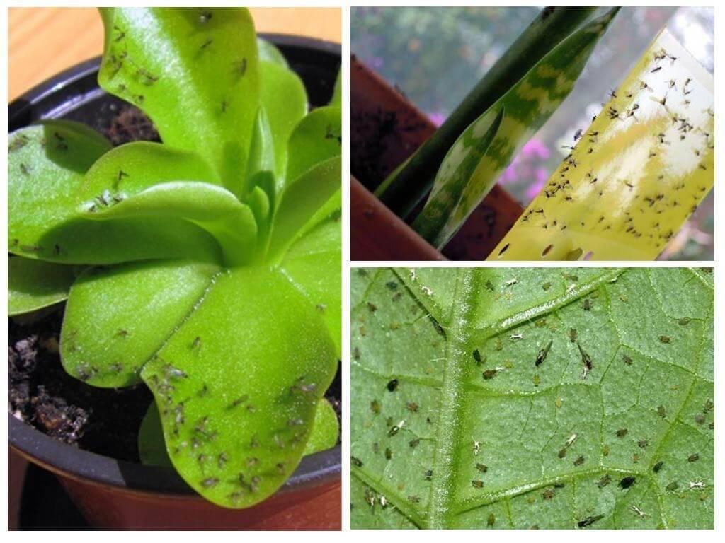 Откуда берется трипс на комнатных растениях и как от него избавиться?
