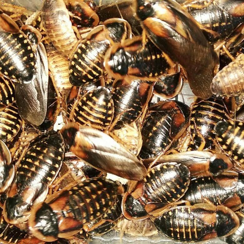 Аргентинские тараканы - сорнякам нет