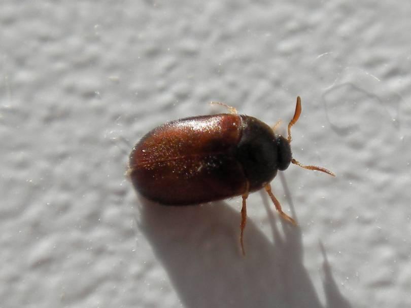 Маленькие коричневые жучки в квартире: причины появления, виды и вред паразитов