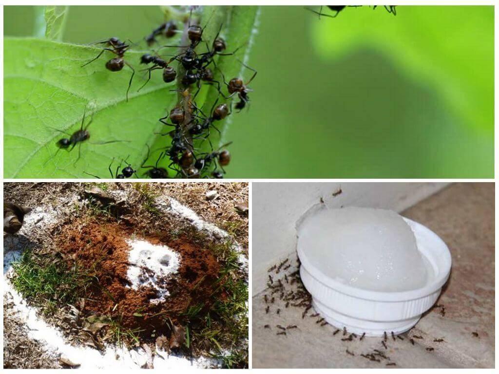 Как с помощью манки избавиться от муравьев на даче?