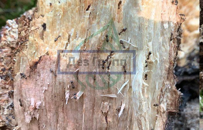 Как вывести муравьев-древоточцев из дома и с участка