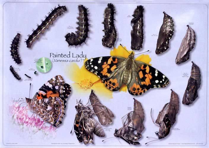 Бабочка крапивница: фото и интересные моменты из жизни насекомого