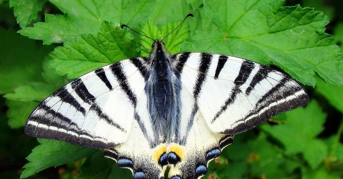 Редкая бабочка подалирий в староживотинном