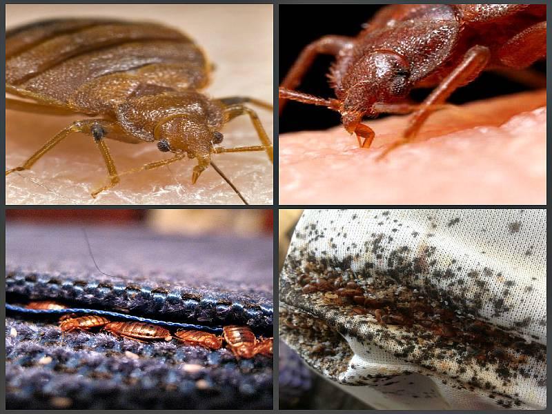 Чем пахнут клопы: особенности физиологии насекомого, как избавиться от запаха в квартире