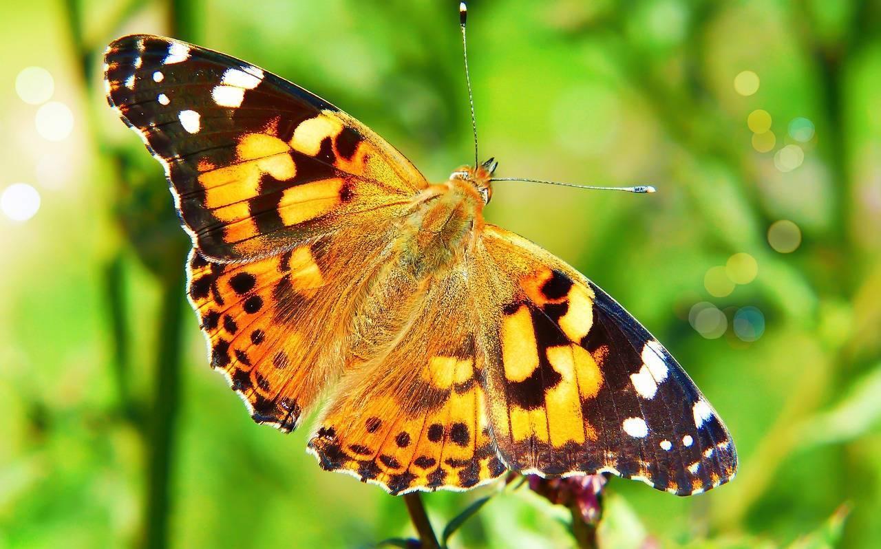 Бабочка репейница — описание, среда обитания, виды