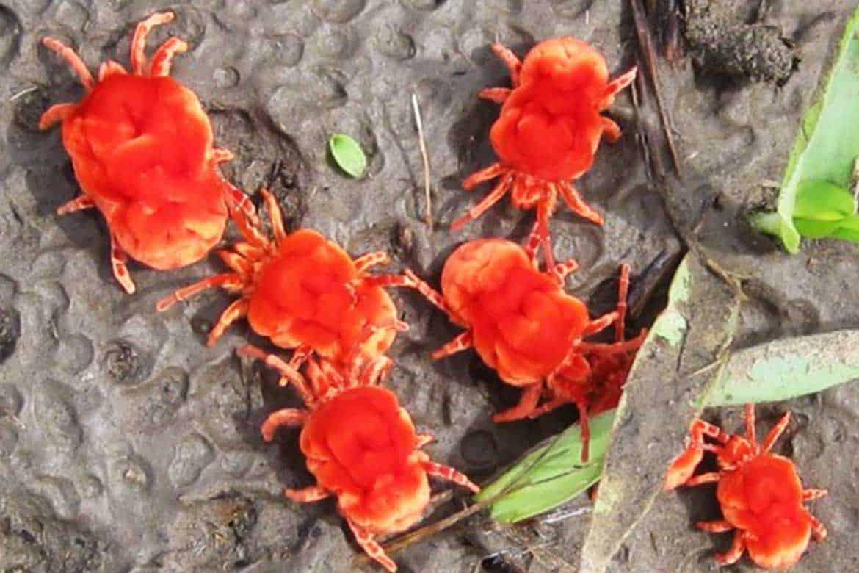 Красный паутинный клещ и другие опасные для растений виды русский фермер