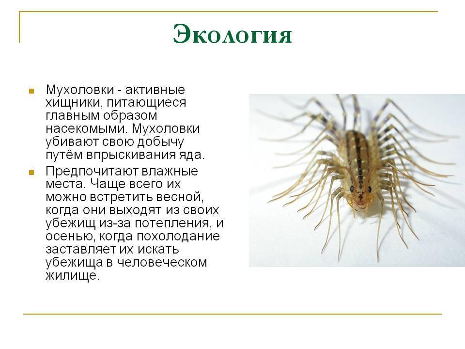 Насекомое мухоловка: чем питается и как бороться