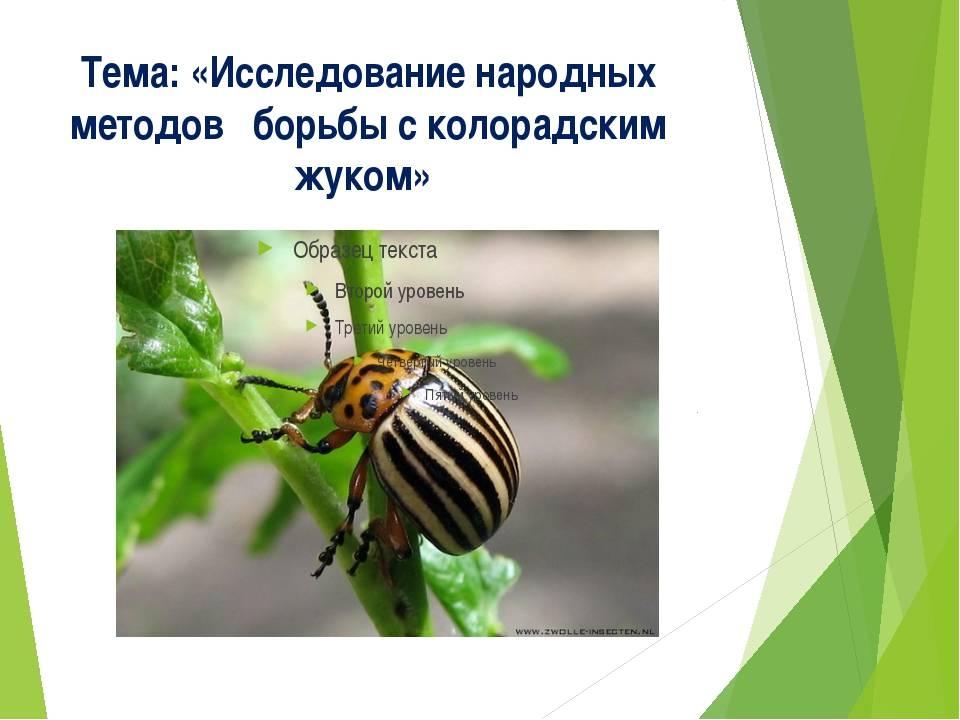 Борьба с колорадским жуком народными средствами – эффктивные рецепты