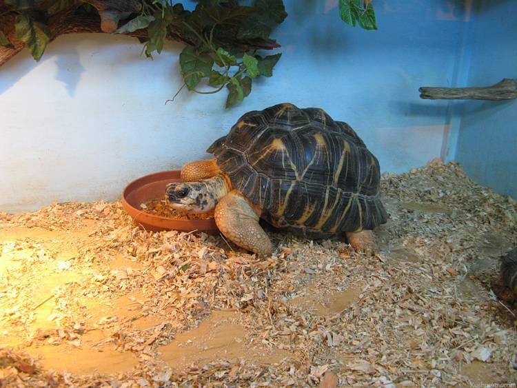 Египетский таракан – черепашка   что говорят насекомые