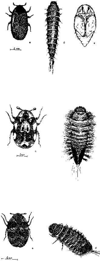 Кожееды: маленькие насекомые, которые наносят большой вред