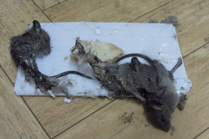 Клей для ловли крыс и мышей, а также важные нюансы применения липких ловушек