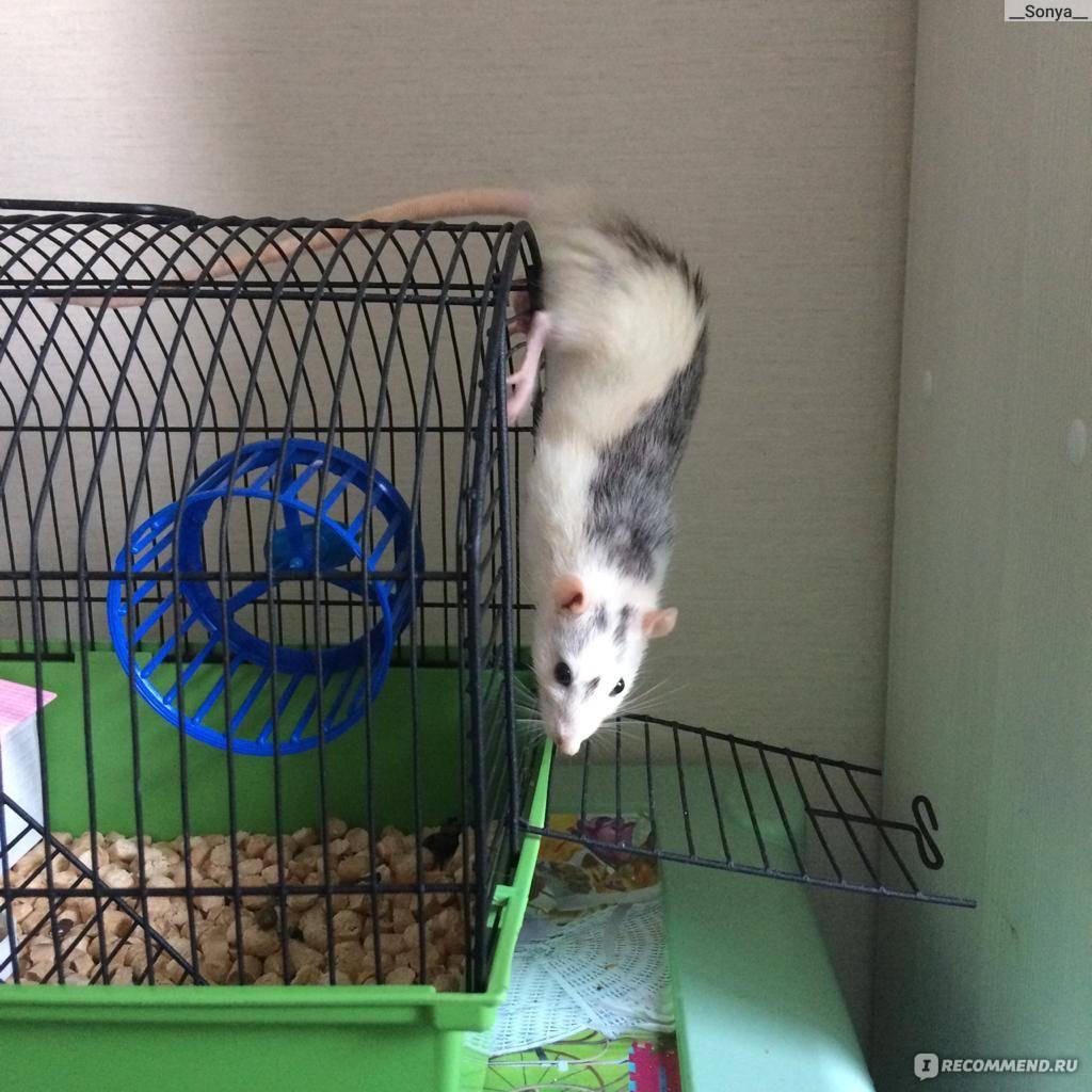Уход за декоративной крысой: как выбрать клетку и наполнитель, какие купить аксессуары и можно ли мыть крыс