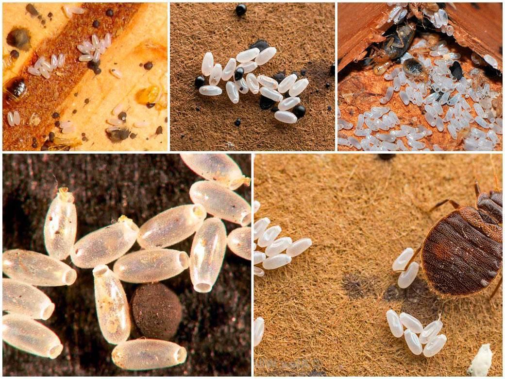 Личинки клопов - от яйца до взрослой особи: как быстро размножаются, сколько живут, фото русский фермер