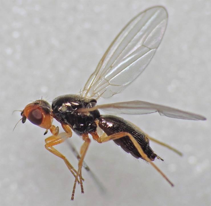 Морковная муха: как с ней бороться?
