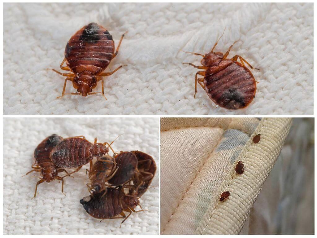 Едят ли тараканы клопов и живут ли они вместе