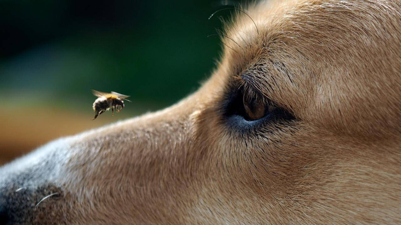 Взрослую собаку или щенка укусила пчела: симптомы, что делать, фото, видео