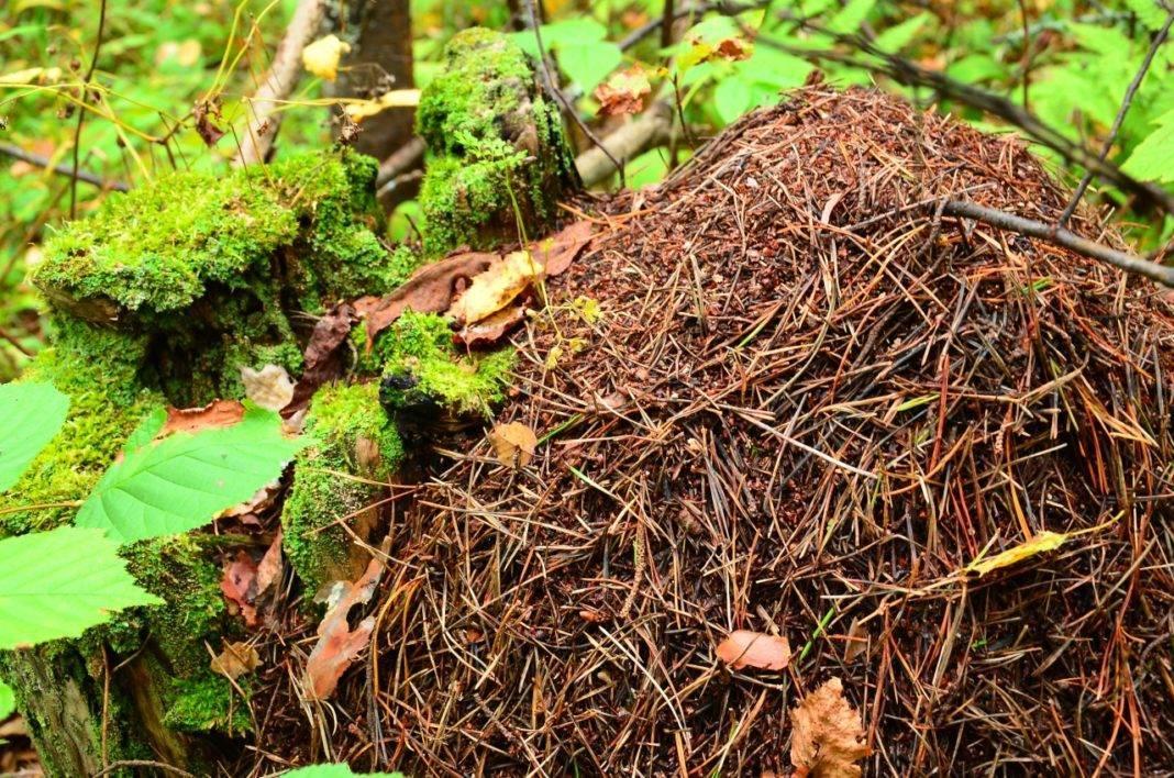 К чему снятся муравьи - значение сна муравьи по соннику