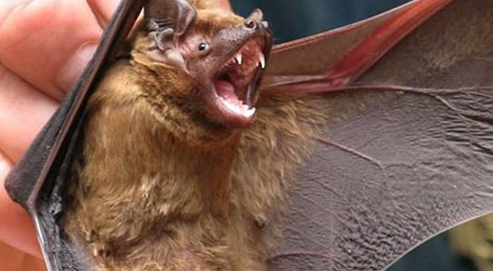 Может ли укусить летучая мышь человека: чем опасна