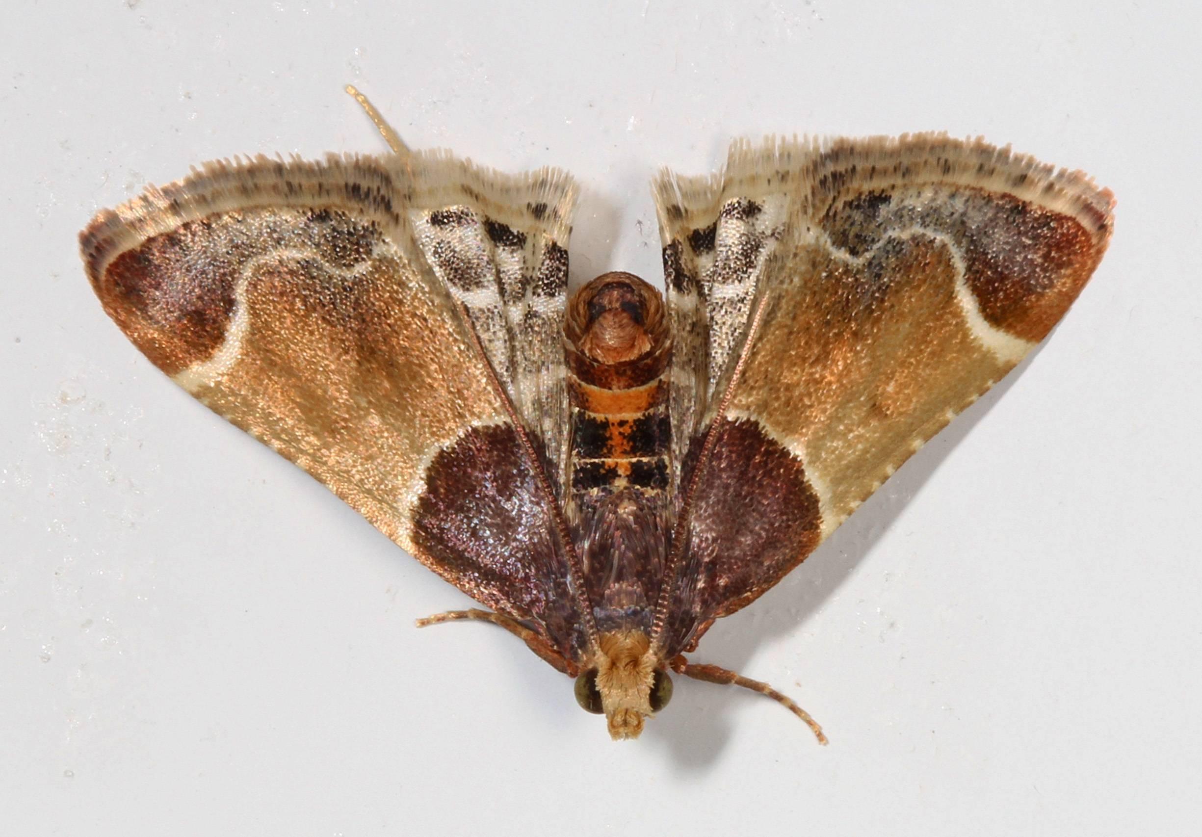 Бабочка огневка. виды бабочек огневок и как с ними бороться