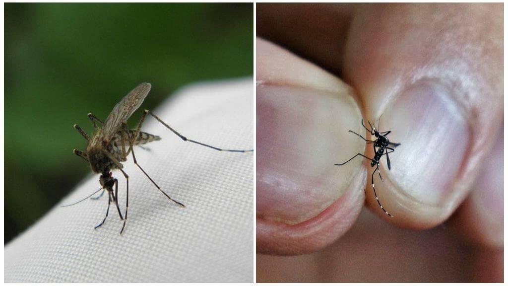 Сколько живут комары, как размножаются и чем питаются?