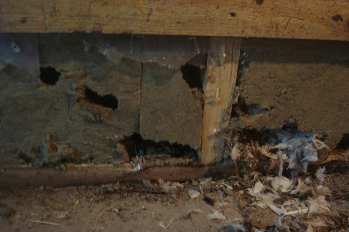 Грызут ли мыши пенополистирол | всё об отоплении