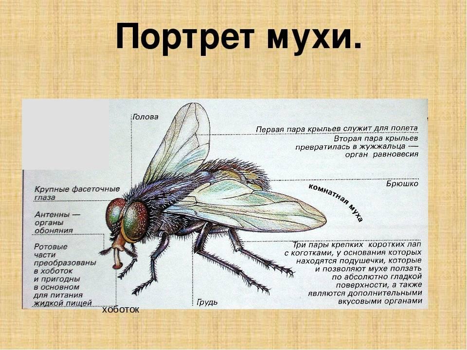 Сколько ног у мухи? Строение и особенности насекомого