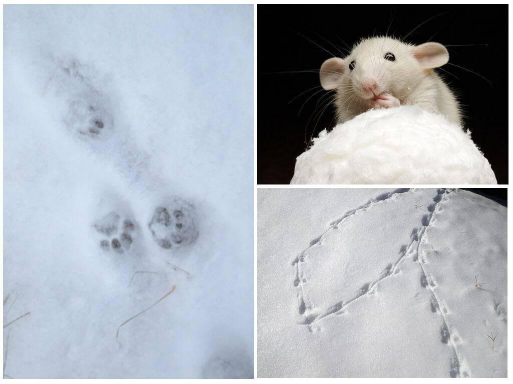 Умные и опасные дикие крысы на вашей даче: характеристика, отличие от мыши и фото