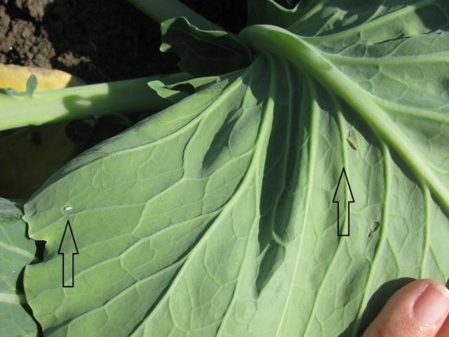 Капустная белянка: гроза огородов и цветников